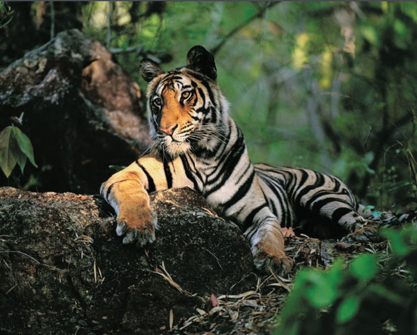 Light In The Forest (Bengal Tiger) 1998, Framed Archival Print, 50x70 by Thomas D. Mangelsen
